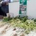Dueña de casa mantenía cultivo de cannabis en el patio de su vivienda